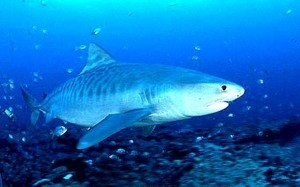 tiger shark 300x187 Ecotourism