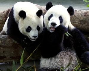 alg pandas1 300x240 BIOMASS