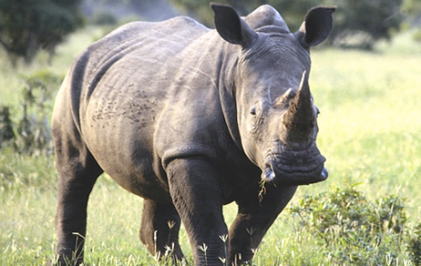 Rhino 7 Ecotourism Can Save Javan Rhino From Extinction