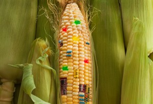 201205 omag safe to eat 600x411 300x205 Californians To Vote  On GMO Food Labeling