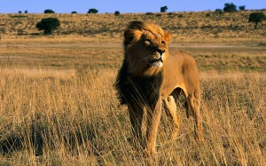 lions+hunting+safaris+in+the+world++attacks+endangered+animal+species+protection+and+conservation+protection+in+Africa+Kenya+South+Africa+save+the+beautiful+dangerous+animals+attacks+pictures 300x187 Kenya Using Ecotourism To Save Lions